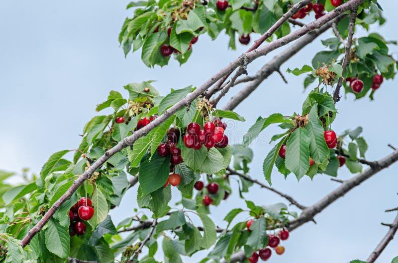 Donkerrode kersenvruchten, boomkers met groene bladeren royalty-vrije stock fotografie