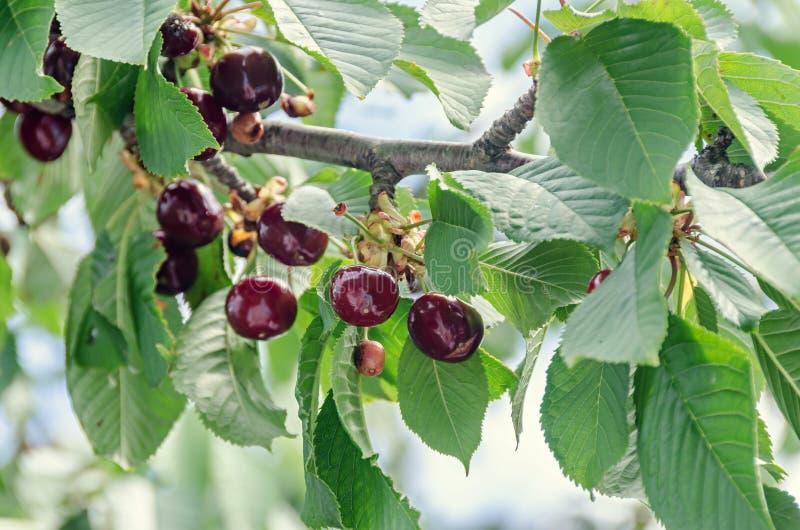 Donkerrode kersenvruchten, boomkers met groene bladeren en zemelen royalty-vrije stock fotografie
