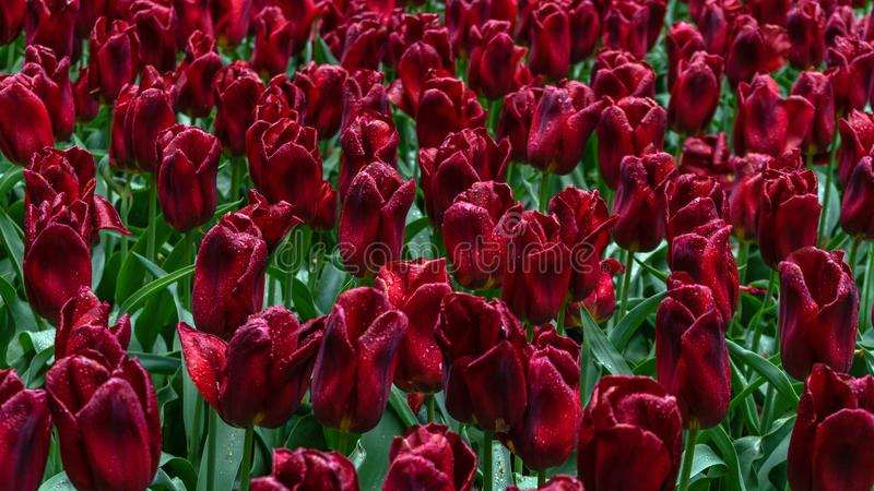 Donkerrode, purpere tulpenbloemen in de lentetuin stock afbeeldingen