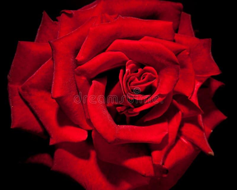 Donkerrood nam bloem toe royalty-vrije stock fotografie