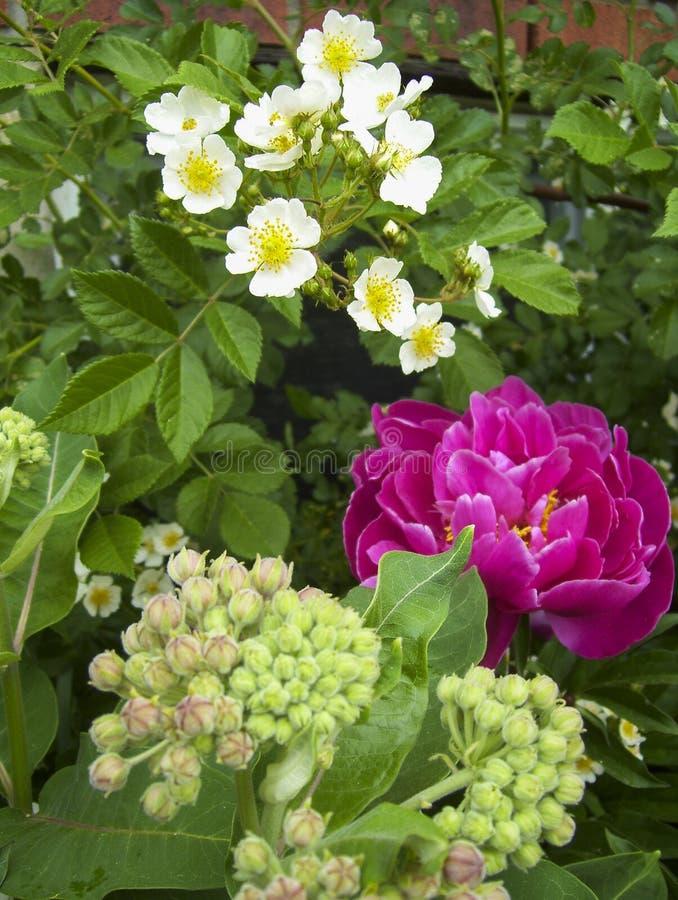 Donkerroze pioen met witte erfenisrozen royalty-vrije stock afbeeldingen