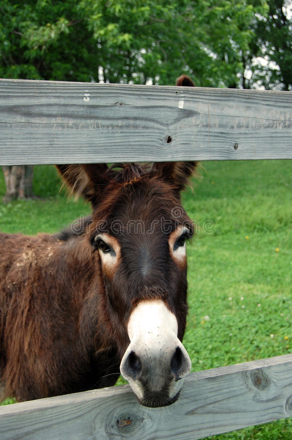 Download Donkey stock photo. Image of miniature, burro, mexican - 14859442
