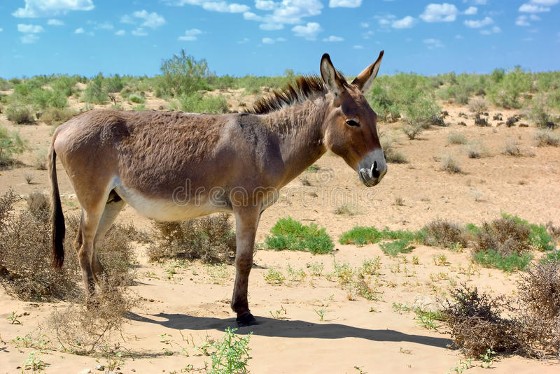Donkey. Wild donkey in the dessert royalty free stock images