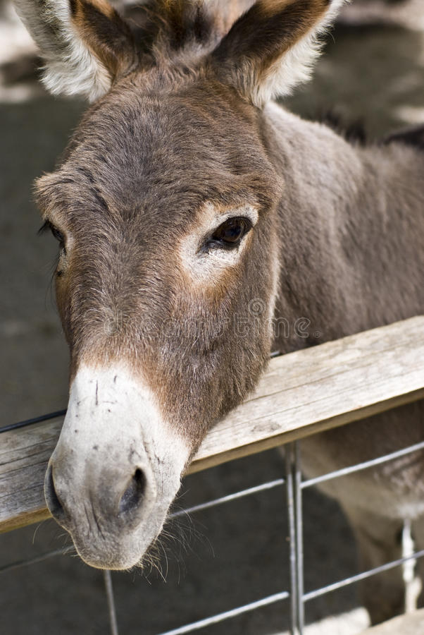 Donkey. Portrait of a donkey behind a fence royalty free stock photos