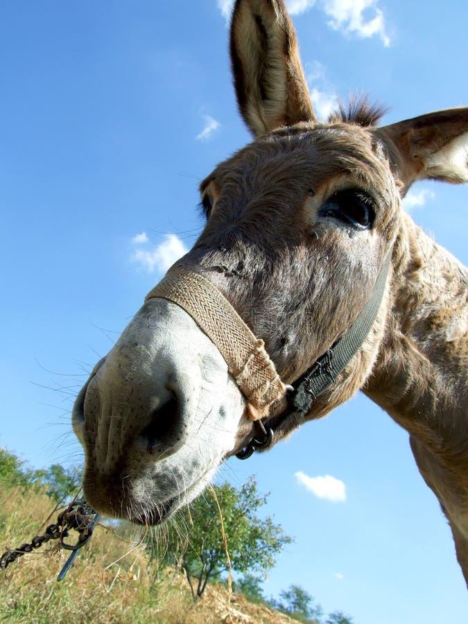 Download Donkey Royalty Free Stock Photos - Image: 16250738