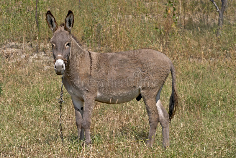 Donkey. A donkey eating grass in a field stock photos