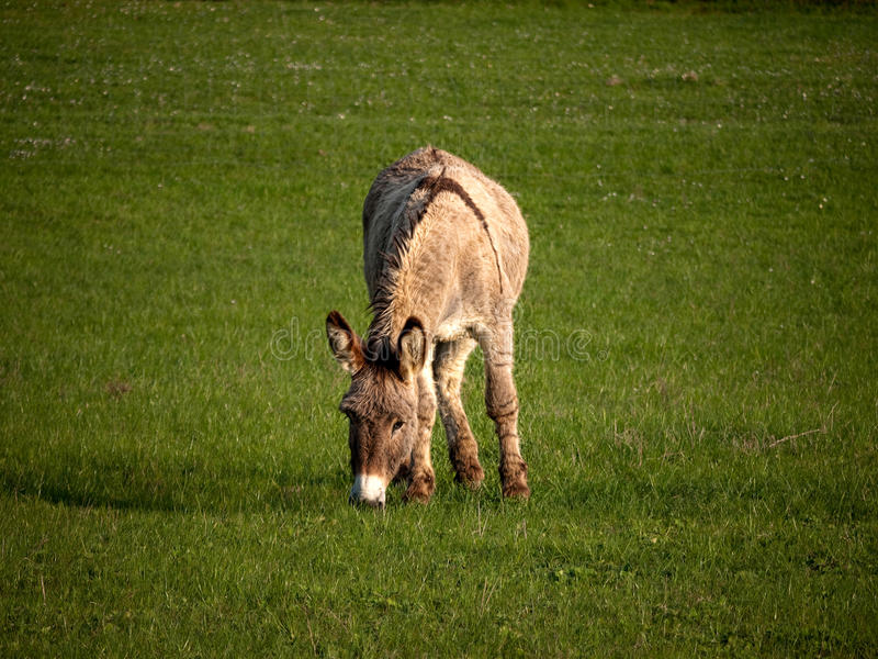Download Donkey stock image. Image of mammal, animal, grass, field - 19053889