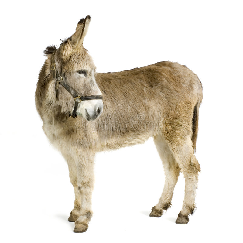 Donkey. In front of a white background royalty free stock photos