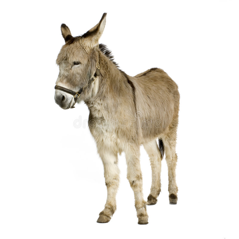 Donkey. In front of a white background royalty free stock photo