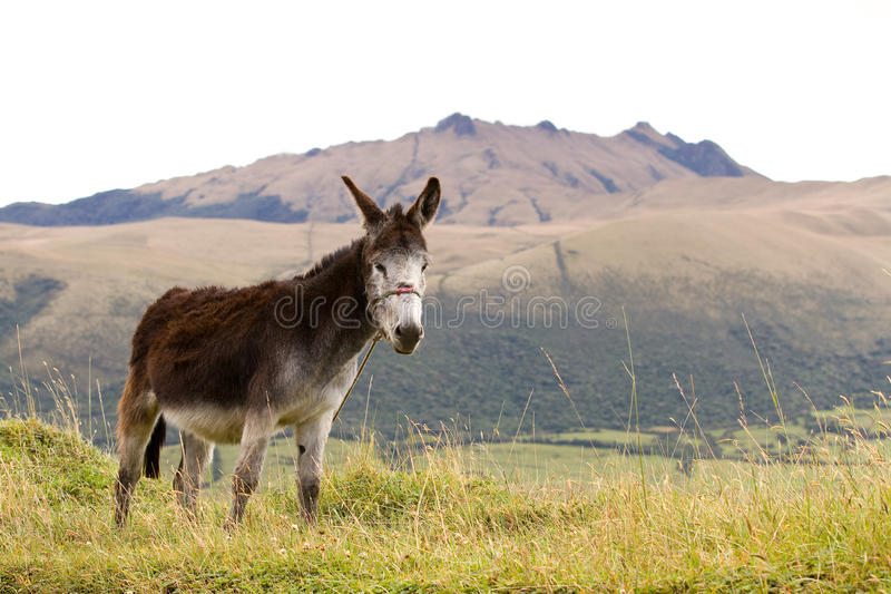 Download Donkey stock photo. Image of ecuador, landscape, mountain - 25394174