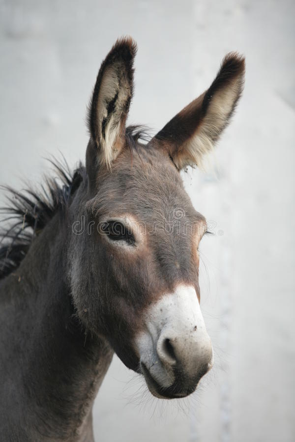 Donkey. A close encounter with an donkey royalty free stock photos