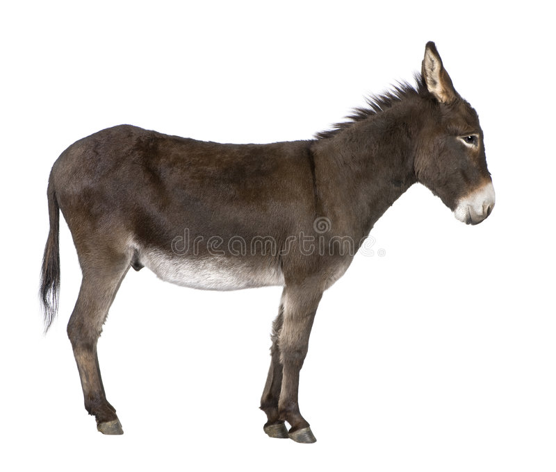 Download Donkey ( 4 years) stock image. Image of animals, creature - 8194829