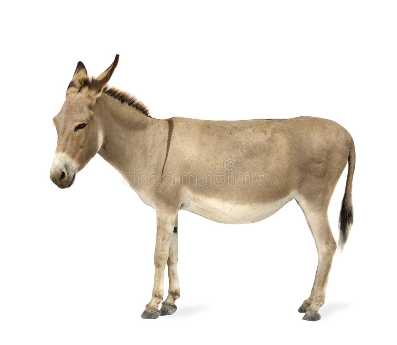 Donkey. In front of a white background stock photo