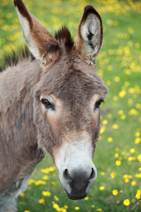 Donkey. In a meadow full of buttercups royalty free stock photo