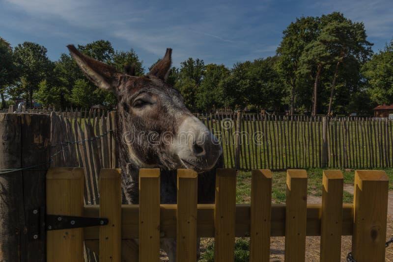 Donkey atrás de uma cerca, curioso sobre o que se passa em Pietersheim, Lanaken, Bélgica imagem de stock royalty free