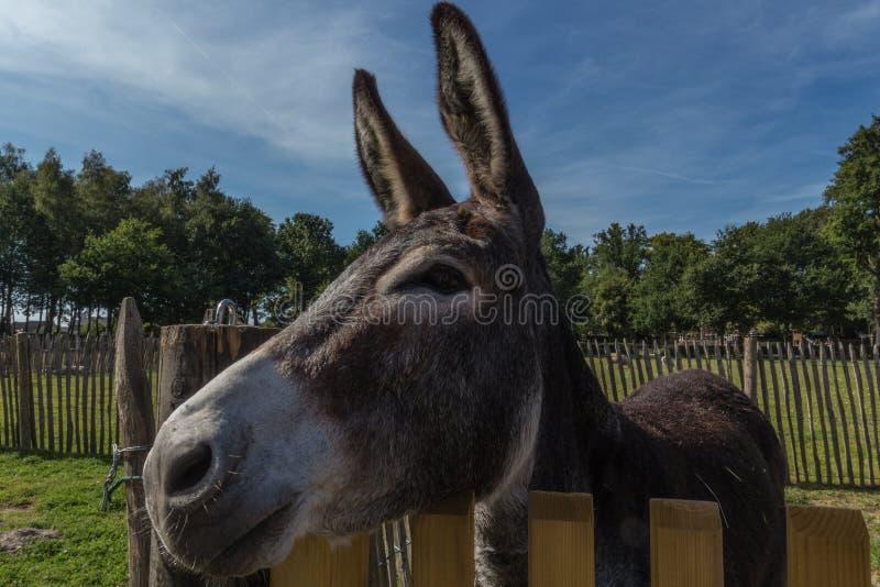 Donkey atrás de uma cerca, curioso sobre o que se passa em Pietersheim, Lanaken, Bélgica fotografia de stock royalty free