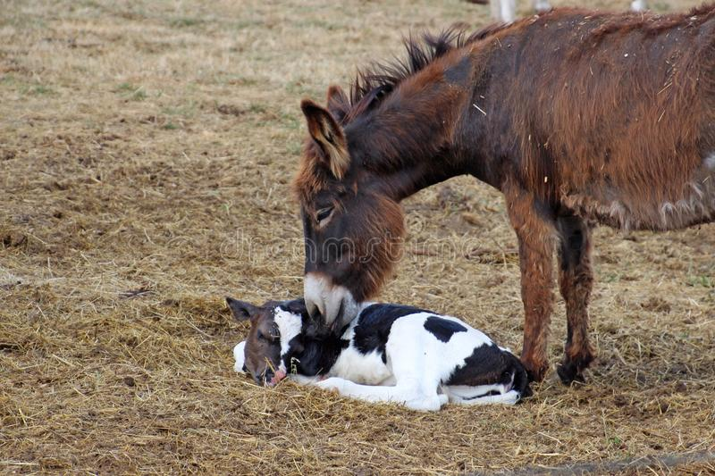 Donkey and the baby cow. Pregnant donkey is helping the mother to clean the new born baby cow. Friendship, motherhood, support, love of animals, beautiful nature stock images