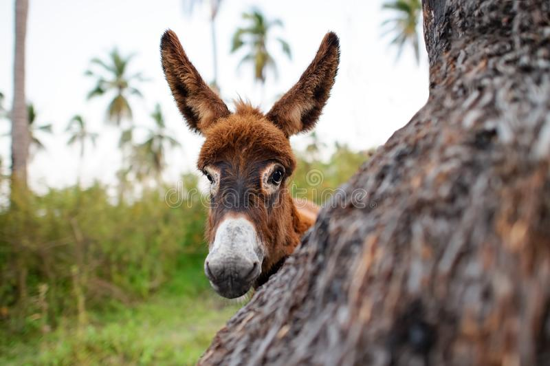 Donkey Baby. Is a cute curious shy baby donkey with great big adorable floppy ears looking right at you stock image