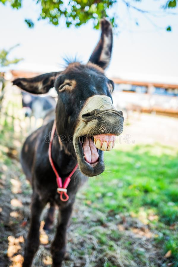 Donkey Braying stock image