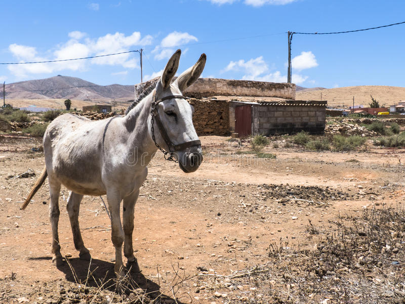 Donkey on the Canary Islands. Donkey on the Canary Island standing with pointed ears in the wasteland in the sun stock photography