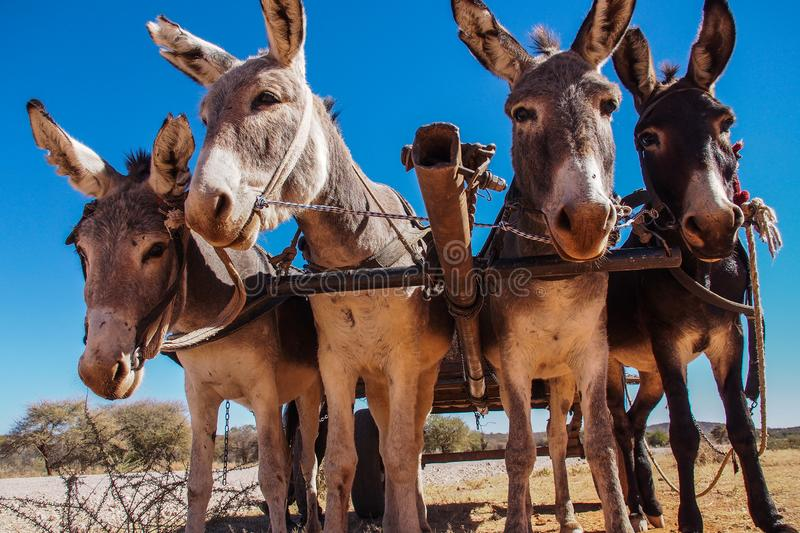 A donkey cart in Opuwo, Namibia in Africa. A donkey cart in Opuwo, Namibia in South Africa stock photo