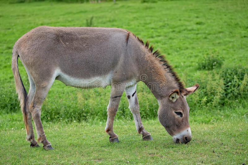 Donkey in a clearing. In the wild royalty free stock photo