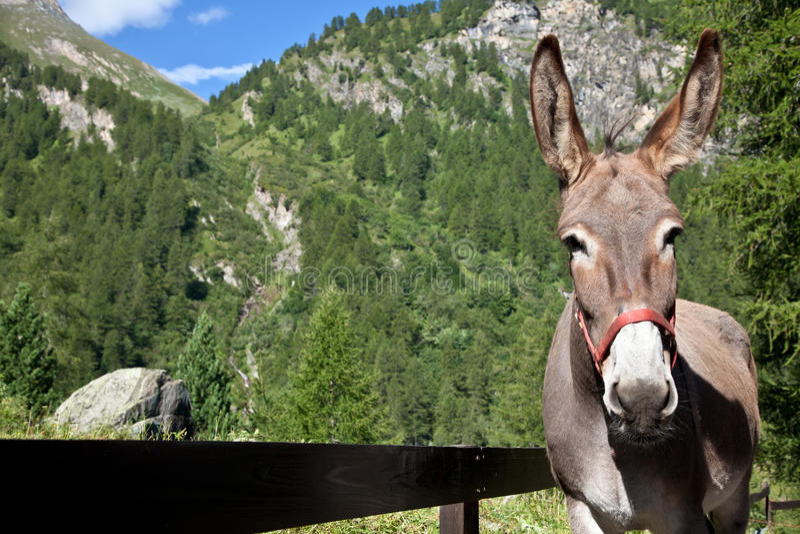 Download Donkey Close Up Royalty Free Stock Photos - Image: 21181088