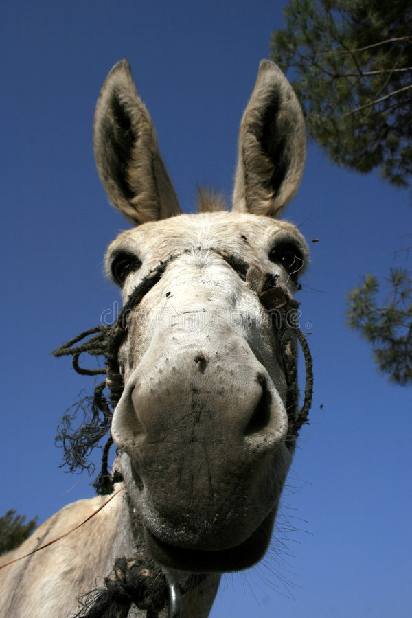 Donkey Close-up royalty free stock image