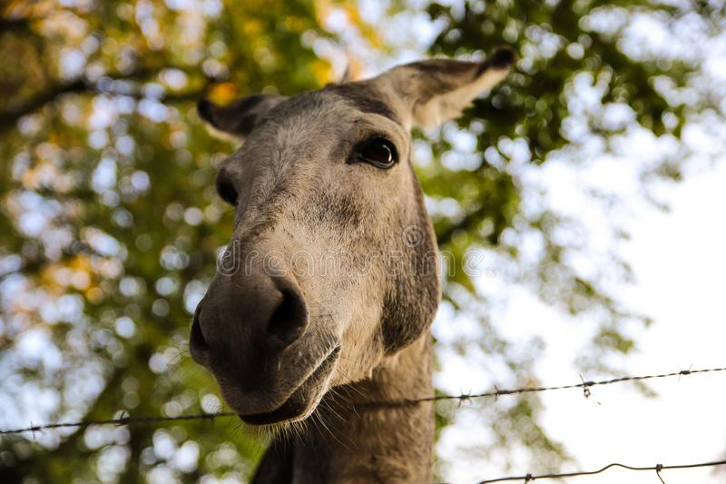 Donkey close-up portrait royalty free stock photo