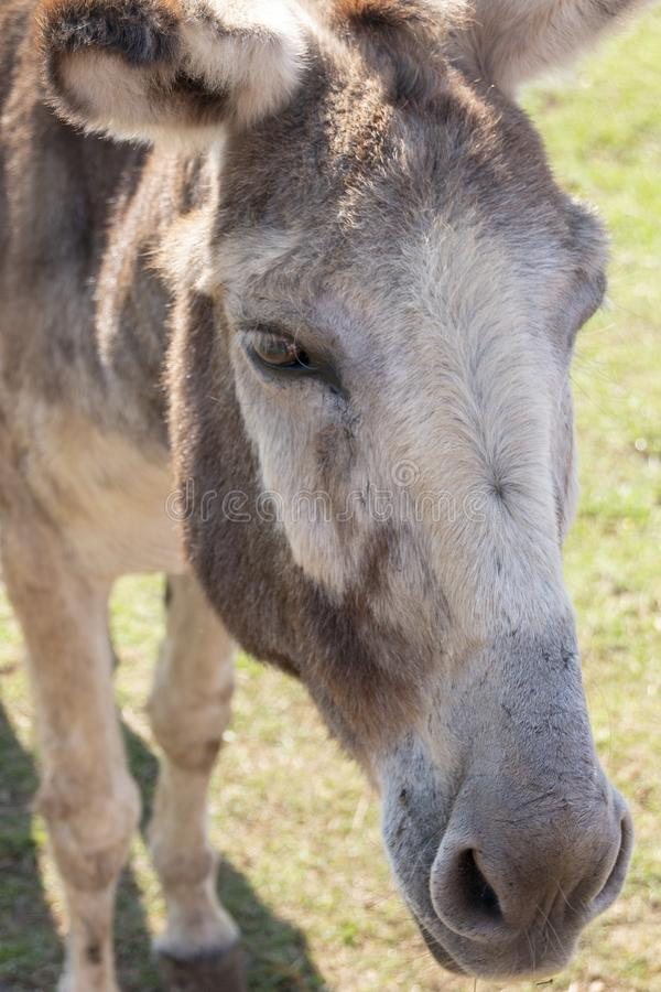 A Donkey. A close up view of a donkey on a farm royalty free stock photography
