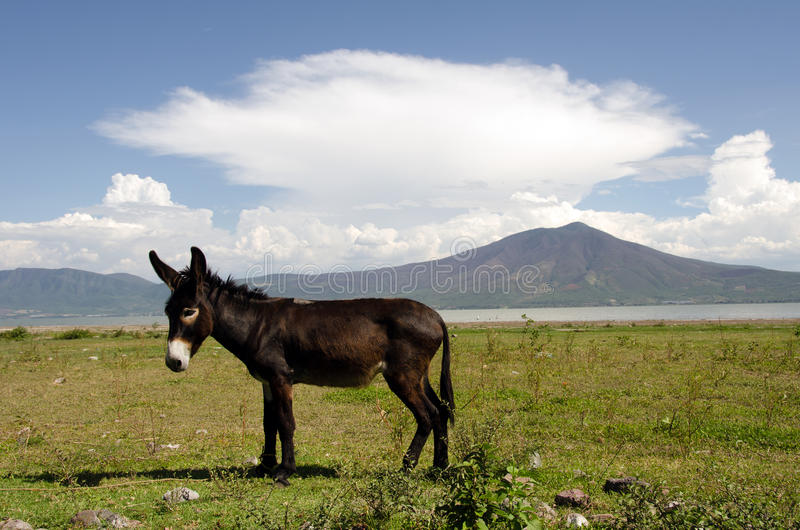Donkey. Dark brown donkey tethered with rope on leg grazing lakeside in Mexico stock images