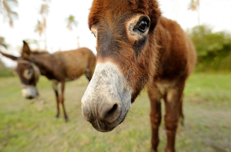 Donkey. Baby is a cute curious shy baby  with great big adorable floppy ears looking right at you stock images