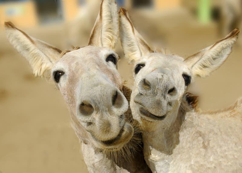Donkey Duo royalty free stock images