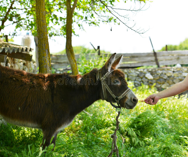 Donkey eating biscuits. Dobrogea region, Romania stock image