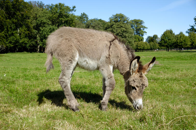 Download Donkey eating grass stock image. Image of grass, green - 18846215