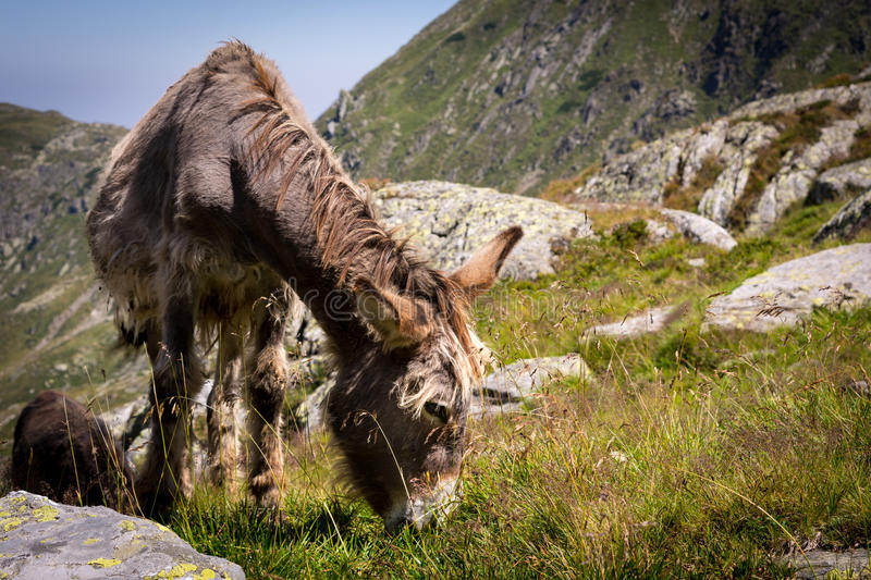 Donkey eating grass in the mountains. In Romania royalty free stock images