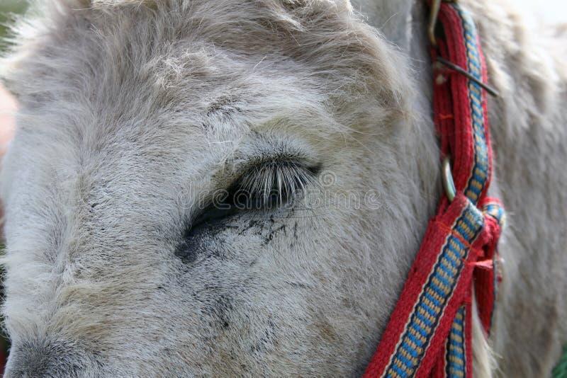Donkey Eye stock image