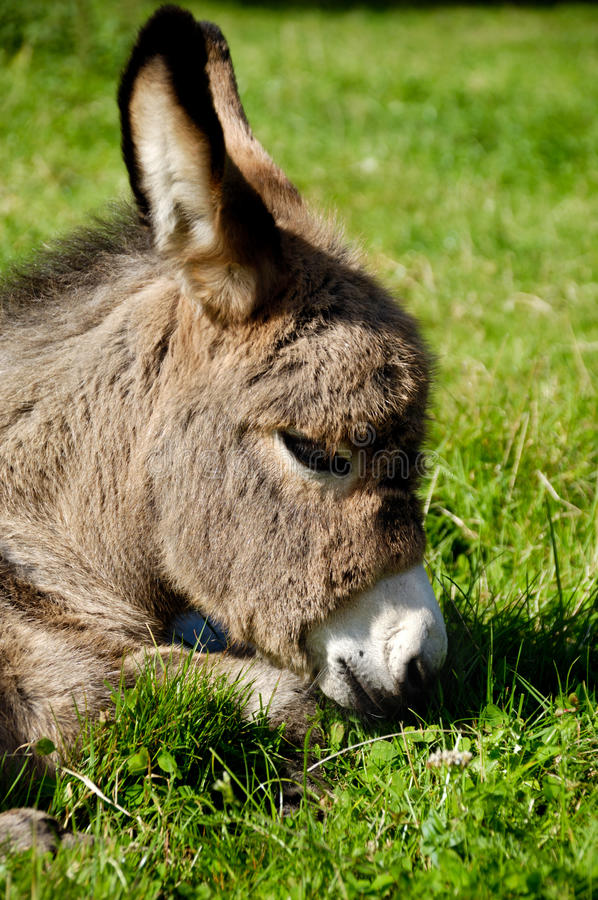 Download Donkey face stock photo. Image of cute, young, face, mule - 18846208