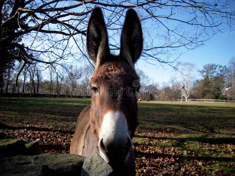 Close up of Donkey stock image