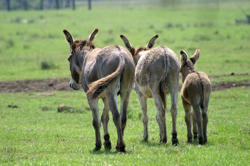 Donkey family royalty free stock photos