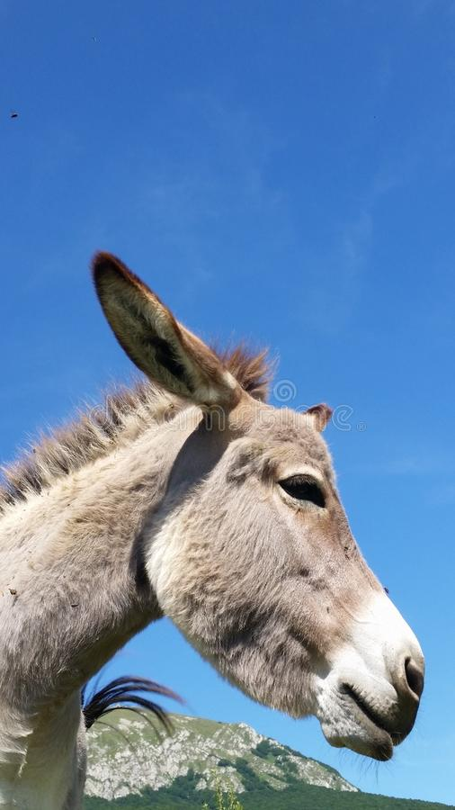 Donkey in farm. A donkey on a blue sky royalty free stock images