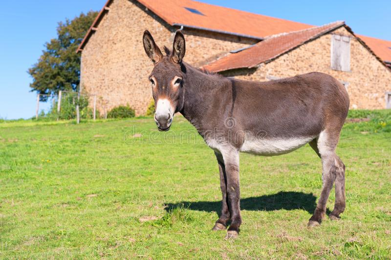 Donkey at the farm. Donkey in meadows in front of the farm stock photography