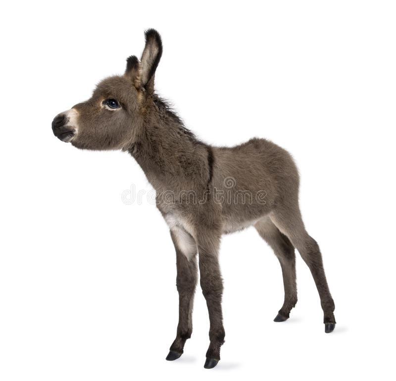 Download Donkey foal (2 months) stock photo. Image of studio, full - 10350402