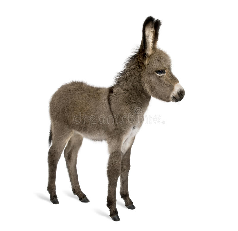 Donkey foal against white background royalty free stock images