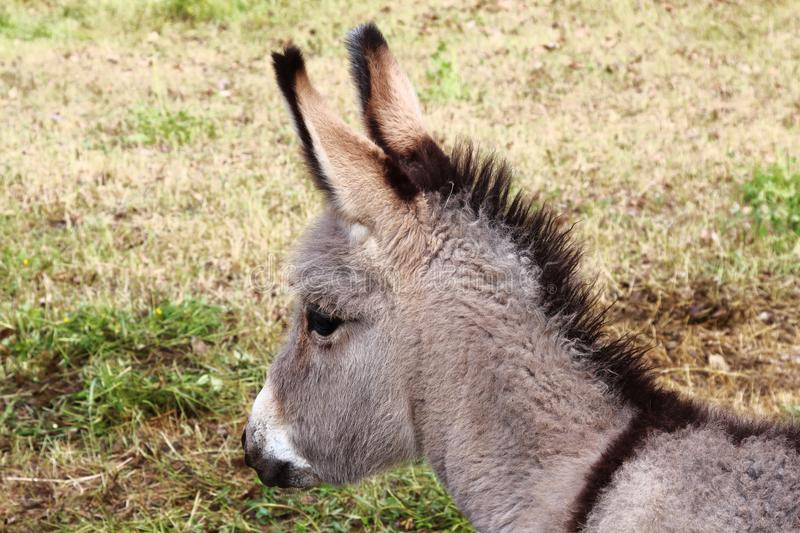Donkey foal in Château Ville-Vieille, France. Donkeys are a real individuality. A donkey is a nice, kind, affectionate, beautiful, inquisitive, faithful stock photography