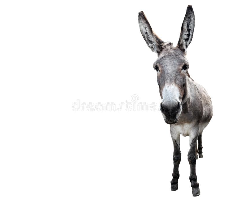 Donkey full length isolated on white. Funny gray donkey standing in front of camera. Farm animals. Donkey full length isolated on white. Funny gray donkey stock photos