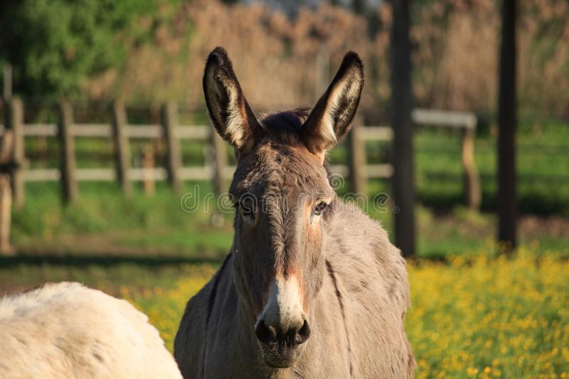 Donkey in the Garden On Sunset royalty free stock images