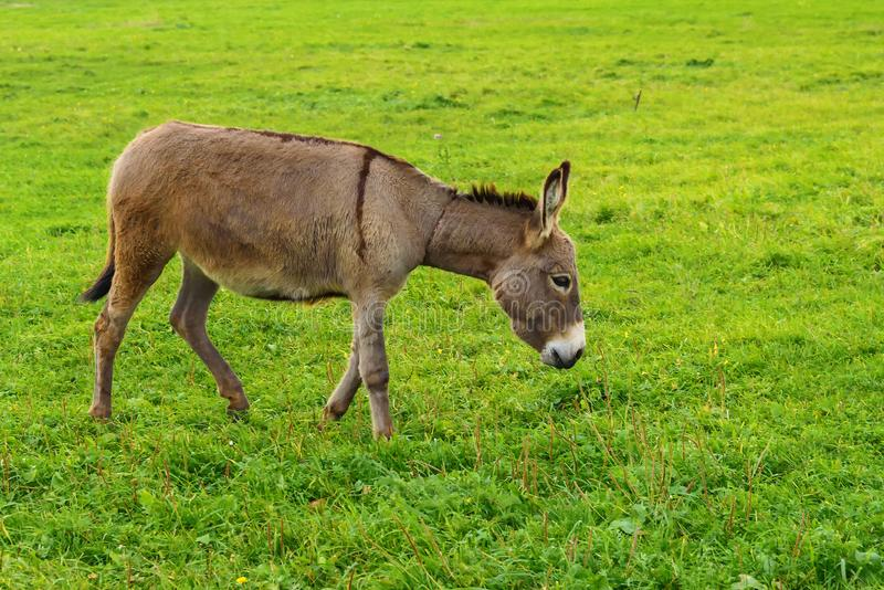 The donkey grazes on a green meadow in the autumn. stock photography