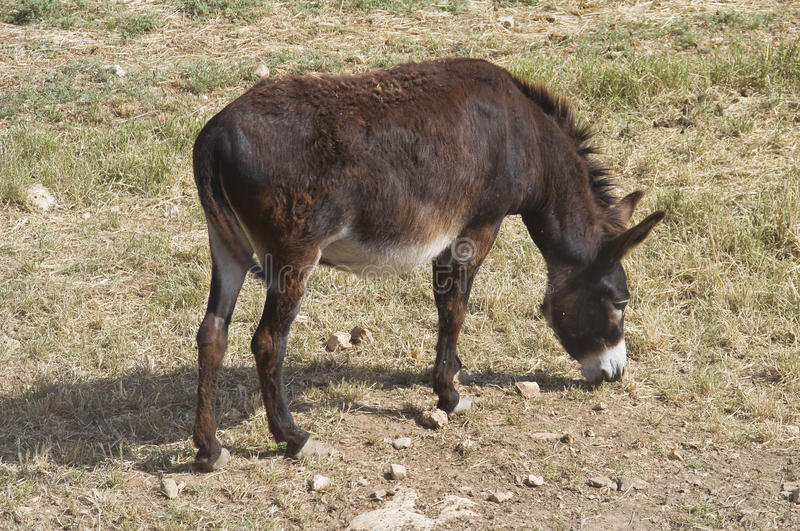 Donkey grazing. royalty free stock photography
