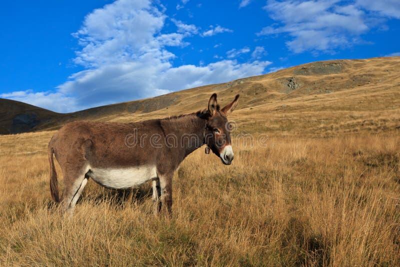 Donkey grazing stock images
